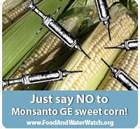 """Genetically engineered Monsanto sweet corn is approved and could be on your plate next year. Genetically engineered sweet corn, the first Monsanto crop designed to be consumed by people, is genetically engineered to produce pesticides and resist herbicides. Sign the petition to make sure your grocery store doesn't sell you genetically engineered sweet corn.  Why should you be concerned about Monsanto's Genetically Engineered (GE) Sweet Corn?  1) This is the first GE Crop Monsanto that is marketing for direct human consumption.  2) It will not be labeled.  3) It hasn't been tested for human safety.  Monsanto's sweet corn variety flew through the approval process, because it combines two genetically engineered traits that were approved in 2005 and 2008. The USDA does no independent testing of GE crops, and the """"stacked"""" combination of these traits for herbicide resistance, and pesticide production has never been through a safety evaluation of any kind."""